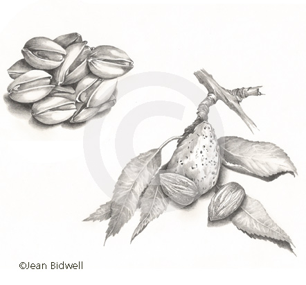 JBidwell_illustration_pistach_almonds